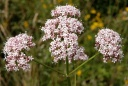 Valeriana.officinalis.jpg