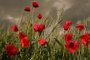 Poppy_field_before_storm_by_Floriandra.jpg